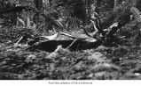 Dead elk, probably on the Olympic Peninsula