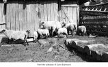 Sheep, probably on the Olympic Peninsula