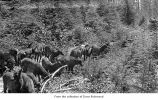 Elk calves on a puncheon trail, probably on the Olympic Peninsula