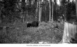 Bears in woods, probably on the Olympic Peninsula