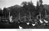 Huelsdonk ranch where Dora is tending chicken, turkeys and geese, Olympic Peninsula