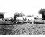 Wagon and horse team on the Merchant Maybury farm, Clallam County