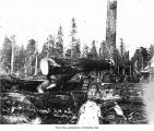 Merrill and Ring Logging Company logging operations at a loading site, probably in Clallam County