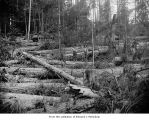 Hall and Bishop Logging Company operations showing two loggers and several logs, probably on the...