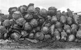 Cabbages and rutabagas grown at Tanana, n.d.