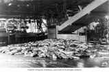 Salmon on floor of Taku Cannery, Taku Harbor, ca. 1911