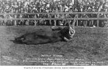 Cowboy Buffalo Vernon wrestling a steer at the Round-Up, Pendleton, Oregon, ca. 1910