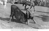 Cowboy Buffalo Vernon wrestling with steer's horns at the Round-Up, Pendleton, Oregon, ca. 1910