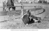 Cowboy wrestling a steer at the Round-Up, Pendleton, Oregon, ca. 1912