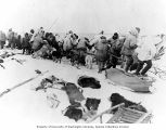 Large group of Kingikmiut Eskimos pulling a whale carcass onto the ice pack, Cape Prince of Wales,...