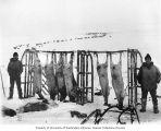 Two Eskimo men in the snow with racks of skinned reindeer, Cape Prince of Wales, Alaska, circa 1906
