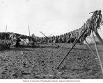 Rows of Tom cod on fish drying racks on a beach, Nome, Alaska, ca. 1907