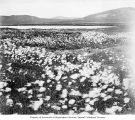 Field of Alaska cotton plants, Alaska, ca. 1907