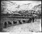 Dogsled team on the outskirts of Dawson, Yukon Territory, ca. 1900