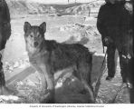 Dog in snow, probably in Dawson, Yukon Territory, ca. 1900