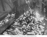 Scow load of salmon, Alaska, n.d.