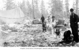 Dogsled team and cow hauling supplies near tent encampment on the Dalton Trail, ca. 1900