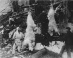 Hunters posing with the mountain goats they killed, White Pass, Alaska, ca. 1907