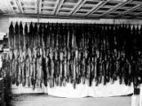 71 Blue Fox skins, Middleton Island, Alaska, ca. 1908