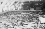 Fish on cannery floor, Libby, McNeill & Libby cannery, Bristol Bay