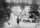 Man (possibly a Sami from Norway) watching reindeer herd, Alaska, 1897