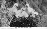 Three young eagles in nest, near Juneau Alaska, ca. 1900