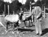 Man in three-piece suit and hat attaching a lead to a corralled reindeer, Seward Peninsula,...