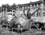 Close-up of four reindeer in corral, Seward Peninsula, 1914-1934