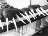 Display of trophy walrus heads on side of boat, Nome, circa 1899