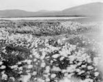 Field of cotton-like wildflowers, Seward Peninsula, ca. 1907
