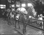 Exhibit of military horses laden with gear, United States Government Building, Alaska Yukon...