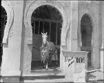 Close-up of Prince Albert the Educated Horse, Pay Streak, Alaska Yukon Pacific Exposition,...