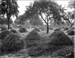 Haycocks in apple orchard, probably Anderson farm near Parkland, Washington, ca. 1910.