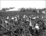 Men and women picking berries in field near Puyallup, Washington, ca. 1910