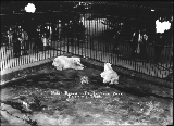 Polar bears in cage, Point Defiance Park, Tacoma, Washington, ca. 1919.