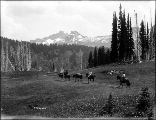 Visitors to Reese's hotel tent camp leaving Paradise Valley by packtrain, Mount Rainier National...