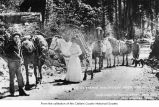 D.O. Sisson's Olympic Mountain Pack Train on trail near Olympic Hot Springs resort, Clallam...
