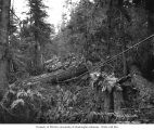 Loggers in the woods with a log rigged to be dragged to a loading site, Schafer Brothers Logging...