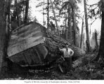 Logger with large felled log, Schafer Brothers Logging Company, probably in Grays Harbor County,...