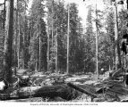Railroad tracks in the woods, Greenwood Logging Company, near Aberdeen, ca. 1920