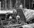 Yarding out redwood logs showing choker setters, unidentified logging operation, Humboldt County,...