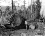 Ten foot fir tree and logger, Smith Powers Logging Company, Powers, ca. 1922