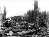 Moving a spartree while still standing, unidentified logging operation, Washington, n.d.