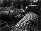 Two firs felled by logger with crosscut saw and felling axe, Washington, 1909