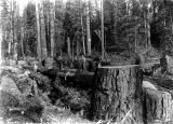 Loggers at work crosscuting timber, Washington, 1894