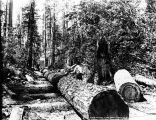 Logs being hauled along skid road, Washington, n.d.