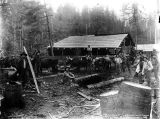 Loggers getting oxen team ready for skidroad, unidentified logging camp, Washington, 1892