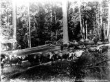 Team of twelve oxen at landing at A. S. Kerry's camp east of Renton, Washington, 1894
