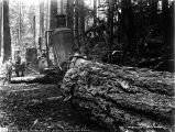 Hauling a fir log along a skid road, undentified logging operation, Washington, 1896