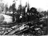 Loggers on top of a 100 foot long log, Washington, 1907